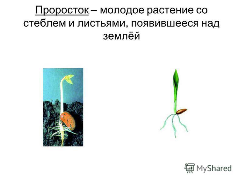 Проросток – молодое растение со стеблем и листьями, появившееся над землёй