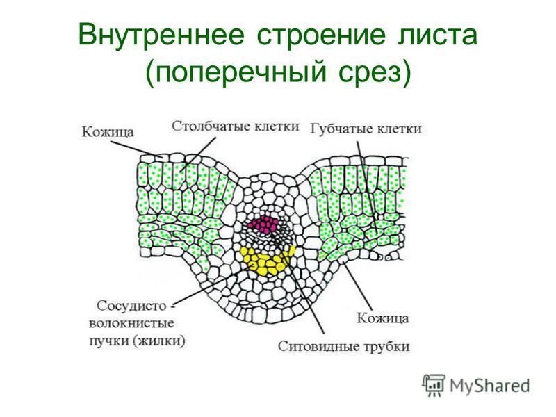 Внутреннее строение листа (поперечный срез)