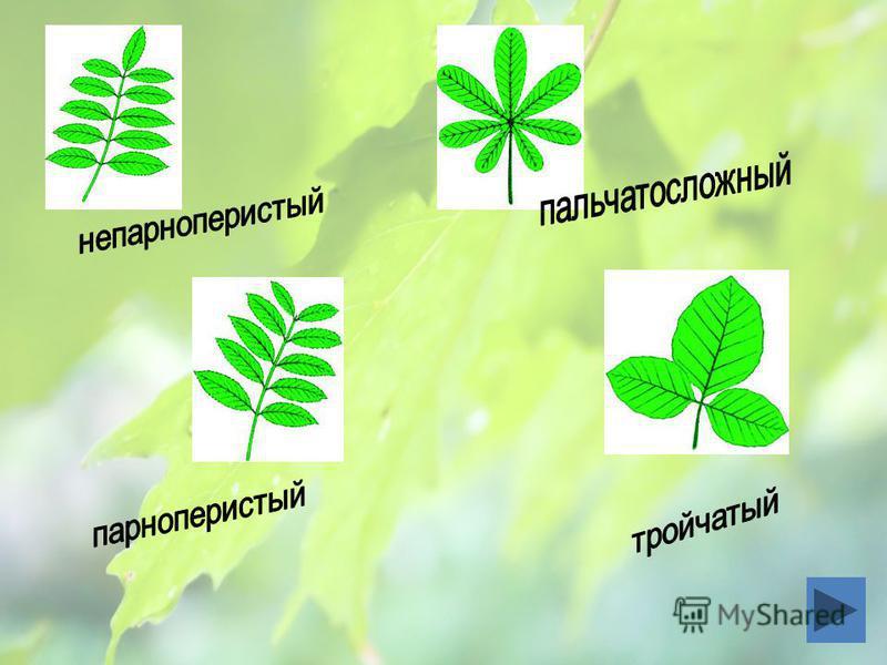 Простые Сложные Листья Одна листовая пластинка и между нею и черешком нет сочленения 3 и более листовых пластинок, которые сочленены с общим черешком