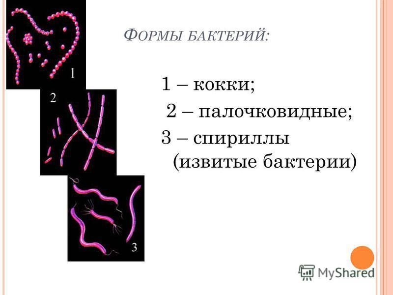 Ф ОРМЫ БАКТЕРИЙ : 1 – кокки; 2 – палочковидные; 3 – спириллы (извитые бактерии)