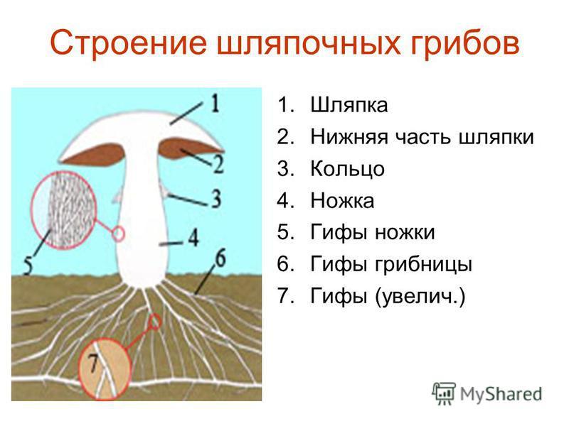 Строение шляпочных грибов 1. Шляпка 2. Нижняя часть шляпки 3. Кольцо 4. Ножка 5. Гифы ножки 6. Гифы грибницы 7. Гифы (увеличь.)