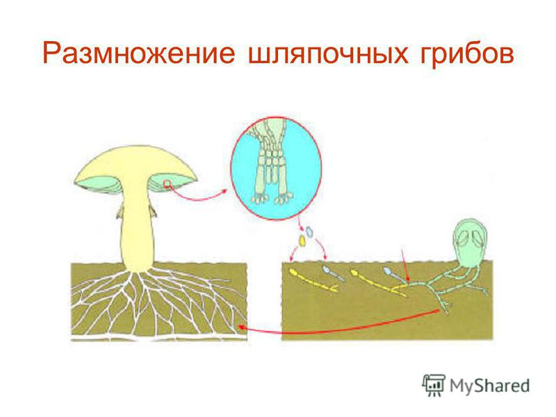 Размножение шляпочных грибов