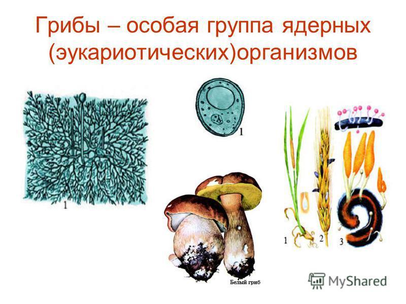 Грибы – особая группа ядерных (эукариотических)организмов