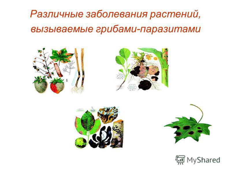 Различные заболевания растений, вызываемые грибами-паразитами