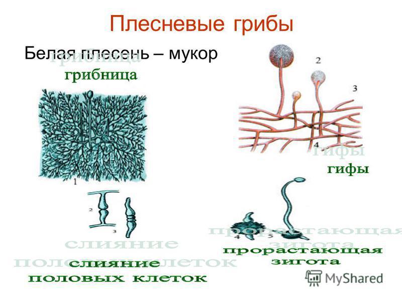 Плесневые грибы Белая плесень – мукор