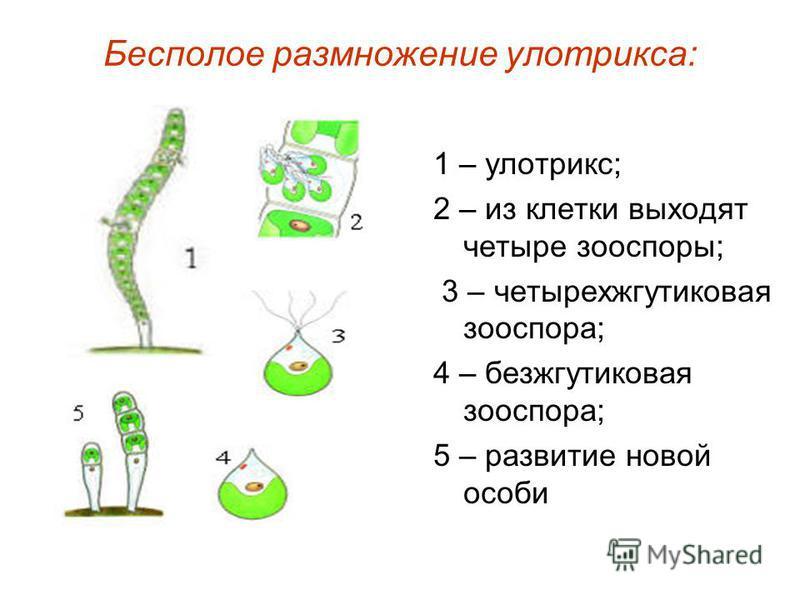Бесполое размножение улотрикса: 1 – улотрикс; 2 – из клетки выходят четыре зооспоры; 3 – четырех жгутиковая зооспора; 4 – безжгутиковая зооспора; 5 – развитие новой особи
