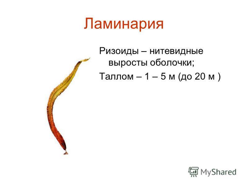 Ламинария Ризоиды – нитевидные выросты оболочки; Таллом – 1 – 5 м (до 20 м )