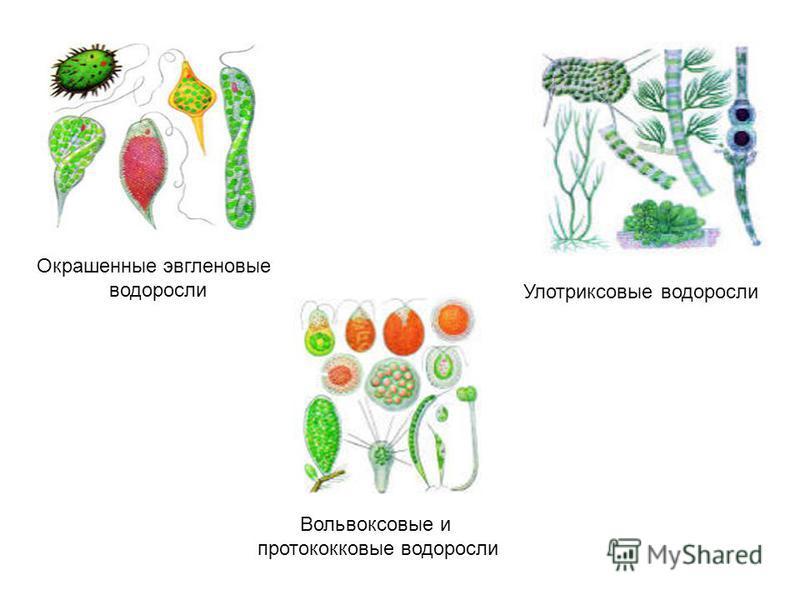 Окрашенные эвгленовые водоросли Вольвоксовые и протококковые водоросли Улотриксовые водоросли