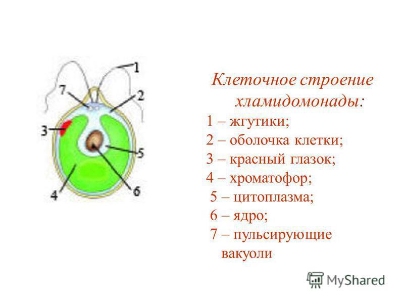 Клеточное строение хламидомонады: 1 – жгутики; 2 – оболочка клетки; 3 – красный глазок; 4 – хроматофор; 5 – цитоплазма; 6 – ядро; 7 – пульсирующие вакуоли