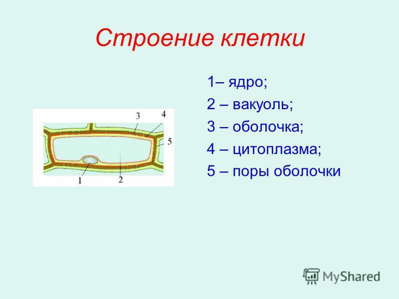 Строение клетки 1– ядро; 2 – вакуоль; 3 – оболочка; 4 – цитоплазма; 5 – поры оболочки