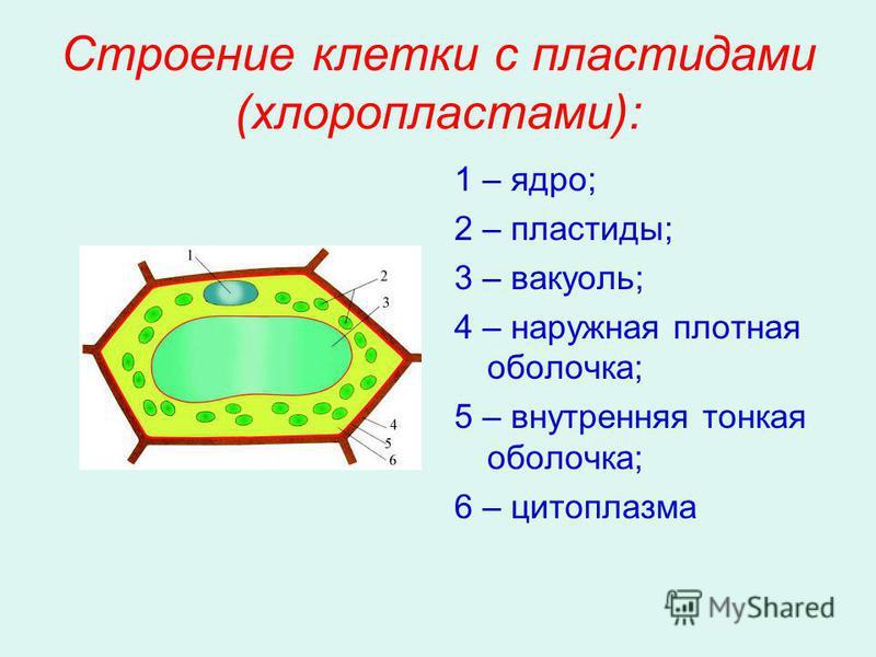 Строение клетки с пластидами (хлоропластами): 1 – ядро; 2 – пластиды; 3 – вакуоль; 4 – наружная плотная оболочка; 5 – внутренняя тонкая оболочка; 6 – цитоплазма