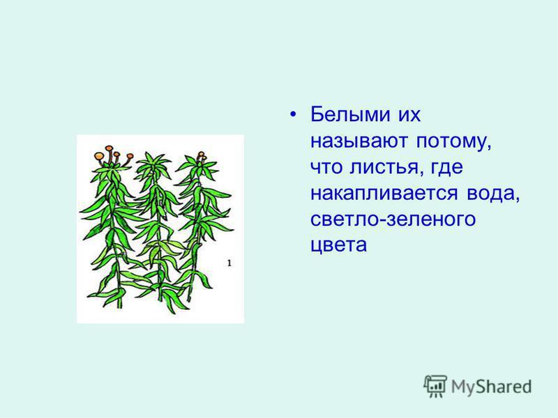 Белыми их называют потому, что листья, где накапливается вода, светло-зеленого цвета