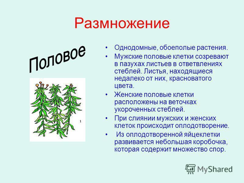 Размножение Однодомные, обоеполые растения. Мужские половые клетки созревают в пазухах листьев в ответвлениях стеблей. Листья, находящиеся недалеко от них, красноватого цвета. Женские половые клетки расположены на веточках укороченных стеблей. При сл