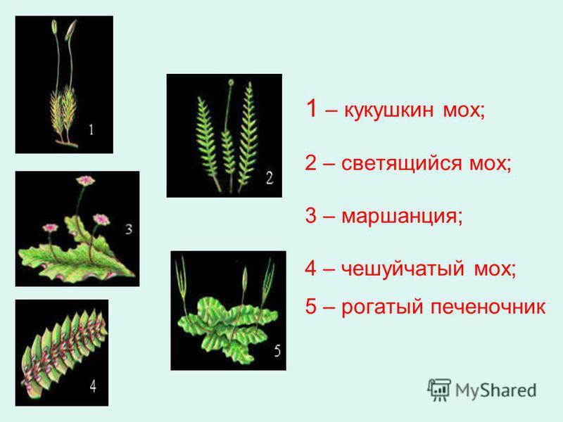 1 – кукушкин мох; 2 – светящийся мох; 3 – маршанция; 4 – чешуйчатый мох; 5 – рогатый печеночник