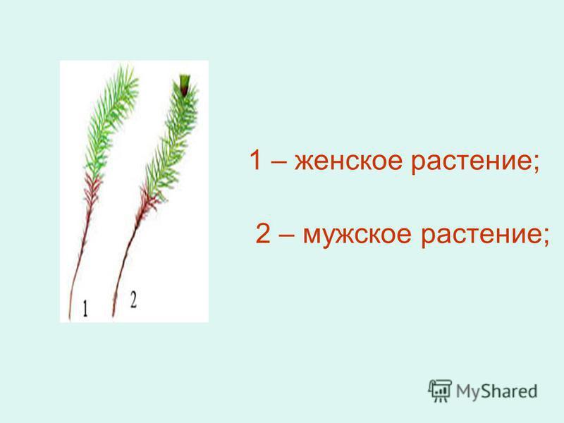1 – женское растение; 2 – мужское растение;