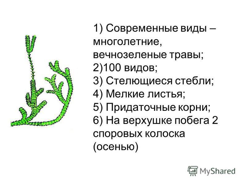 1) Современные виды – многолетние, вечнозеленые травы; 2)100 видов; 3) Стелющиеся стебли; 4) Мелкие листья; 5) Придаточные корни; 6) На верхушке побега 2 споровых колоска (осенью)