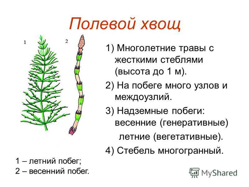 Полевой хвощ 1) Многолетние травы с жесткими стеблями (высота до 1 м). 2) На побеге много узлов и междоузлий. 3) Надземные побеги: весенние (генеративные) летние (вегетативные). 4) Стебель многогранный. 1 – летний побег; 2 – весенний побег.