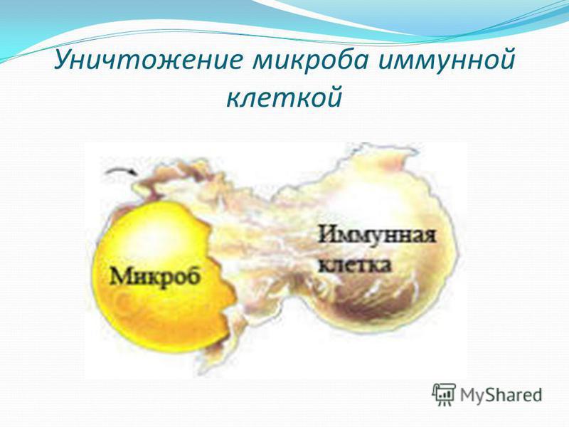 Уничтожение микроба иммунной клеткой