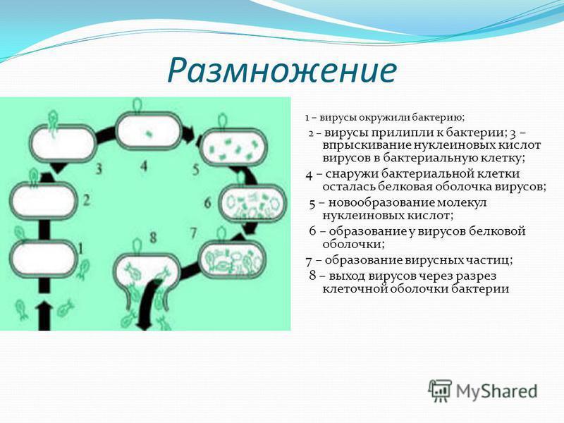 Размножение 1 – вирусы окружили бактерию; 2 – вирусы прилипли к бактерии; 3 – впрыскивание нуклеиновых кислот вирусов в бактериальную клетку; 4 – снаружи бактериальной клетки осталась белковая оболочка вирусов; 5 – новообразование молекул нуклеиновых