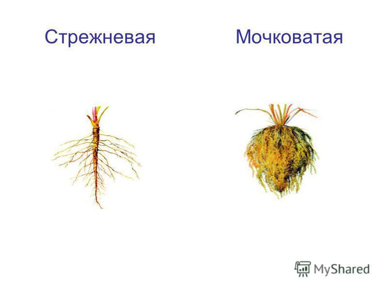 Стрежневая Мочковатая