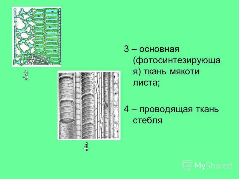 3 – основная (фотосинтезирующая) ткань мякоти листа; 4 – проводящая ткань стебля