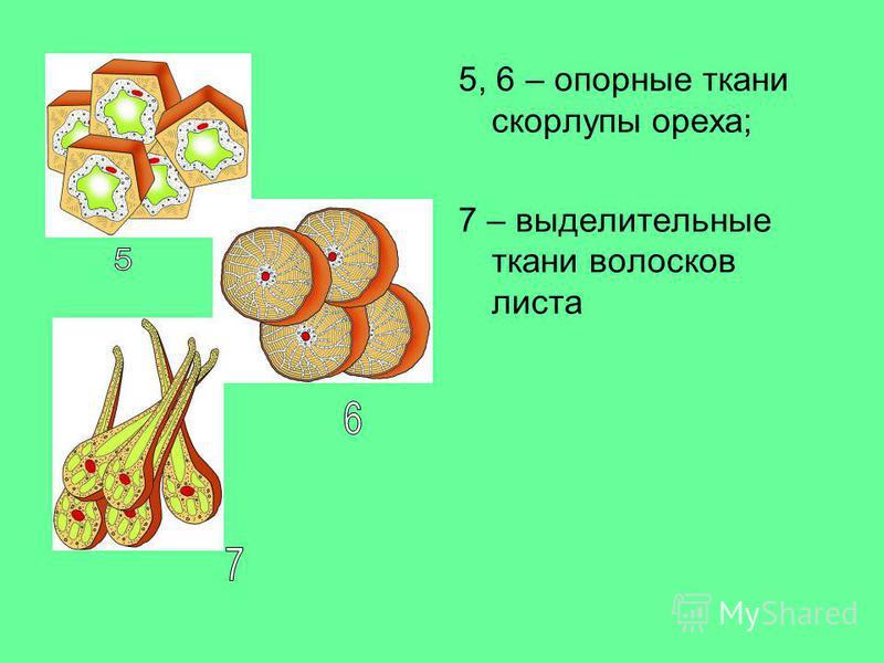 5, 6 – опорные ткани скорлупы ореха; 7 – выделительные ткани волосков листа