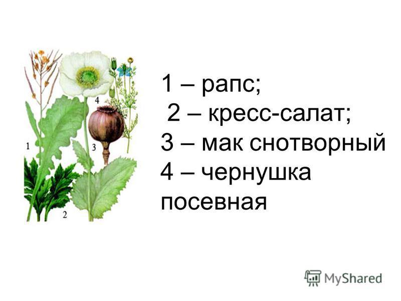 1 – рапс; 2 – кресс-салат; 3 – мак снотворный 4 – чернушка посевная