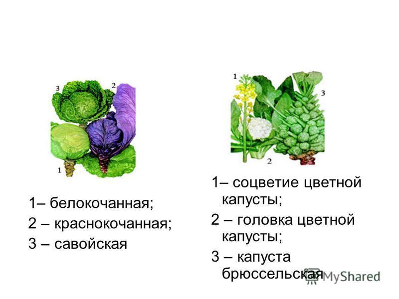 1– белокочанная; 2 – краснокочанная; 3 – савойская 1– соцветие цветной капусты; 2 – головка цветной капусты; 3 – капуста брюссельская