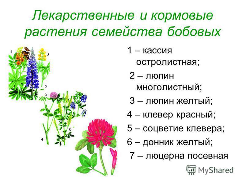 Лекарственные и кормовые растения семейства бобовых 1 – кассия остролистная; 2 – люпин многолистный; 3 – люпин желтый; 4 – клевер красный; 5 – соцветие клевера; 6 – донник желтый; 7 – люцерна посевная
