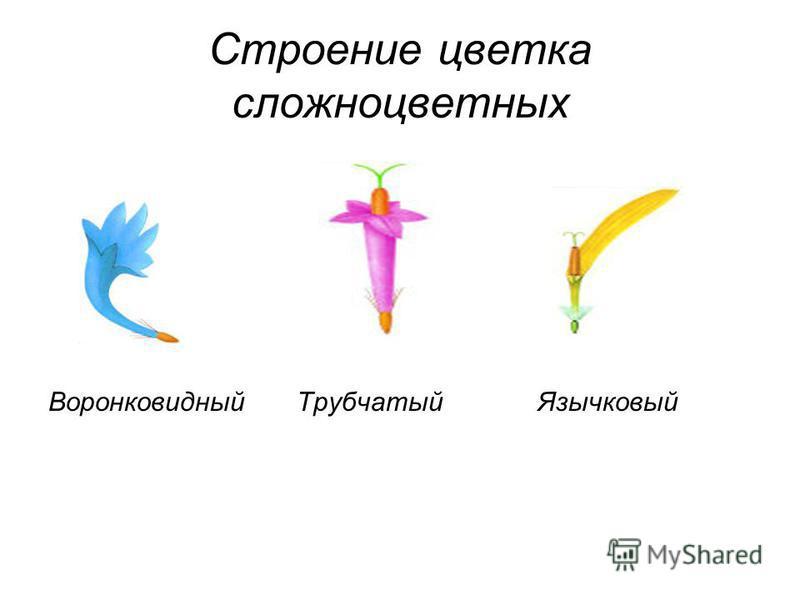 Строение цветка сложноцветных Воронковидный Трубчатый Язычковый