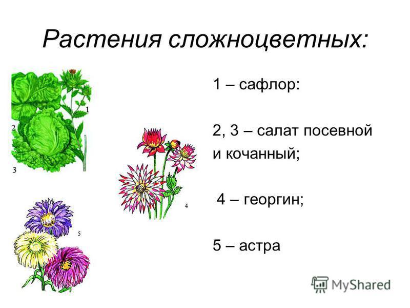 Растения сложноцветных: 1 – сафлор: 2, 3 – салат посевной и кочанный; 4 – георгин; 5 – астра