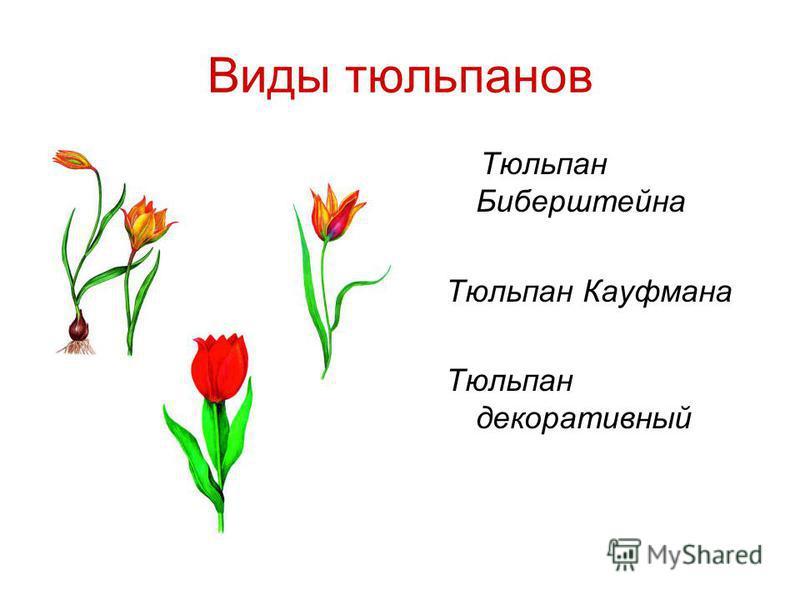 Виды тюльпанов Тюльпан Биберштейна Тюльпан Кауфмана Тюльпан декоративный