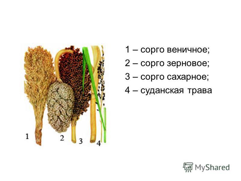 1 – сорго веничное; 2 – сорго зерновое; 3 – сорго сахарное; 4 – суданская трава