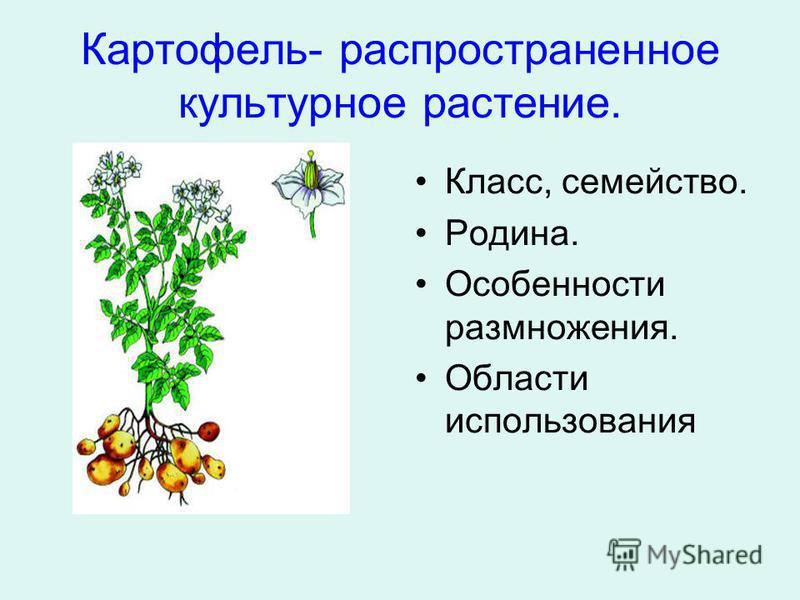 Картофель- распространенное культурное растение. Класс, семейство. Родина. Особенности размножения. Области использования