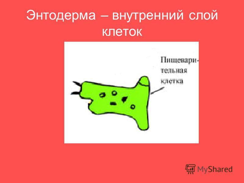 Энтодерма – внутренний слой клеток