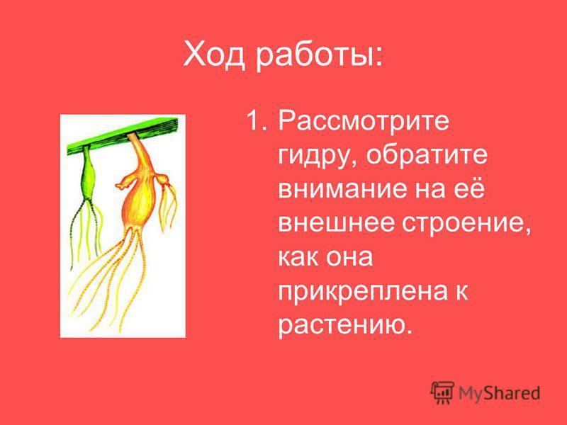 Ход работы: 1. Рассмотрите гидру, обратите внимание на её внешнее строение, как она прикреплена к растению.