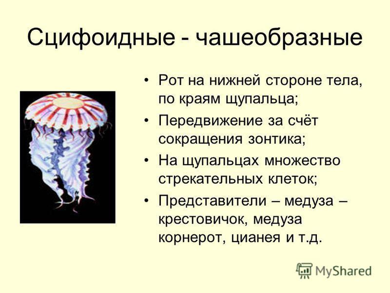 Сцифоидные - чашеобразные Рот на нижней стороне тела, по краям щупальца; Передвижение за счёт сокращения зонтика; На щупальцах множество стрекательных клеток; Представители – медуза – крестовичок, медуза корнерот, цианея и т.д.