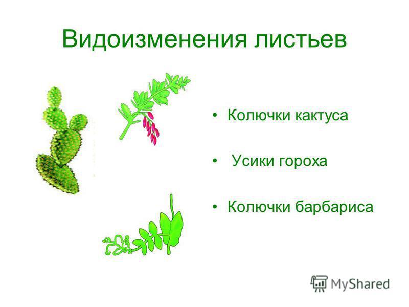 Видоизменения листьев Колючки кактуса Усики гороха Колючки барбариса
