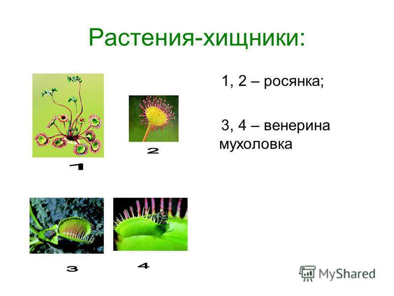 Растения-хищники: 1, 2 – росянка; 3, 4 – венерина мухоловка