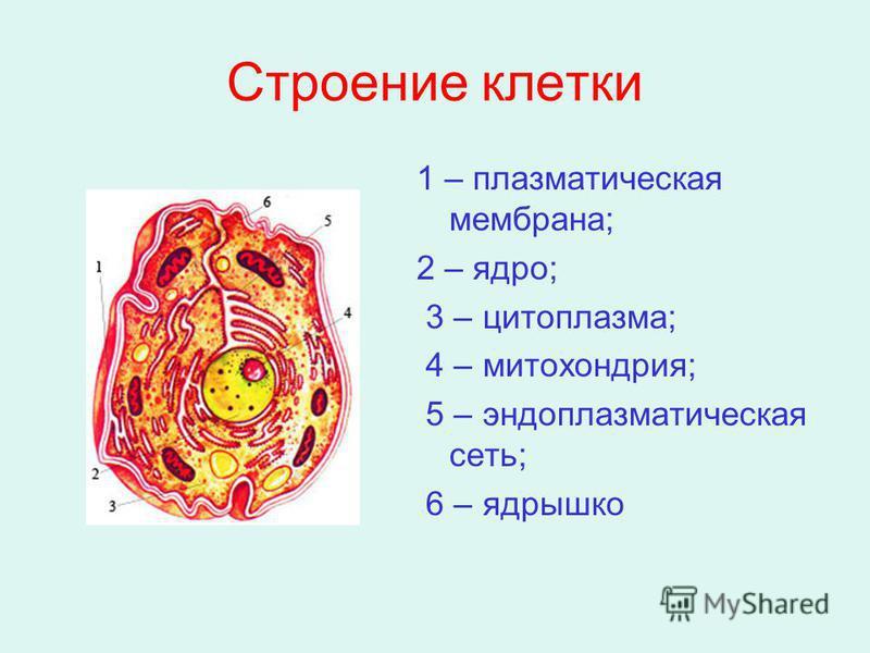 Клетка структурная единица организма реферат 1713