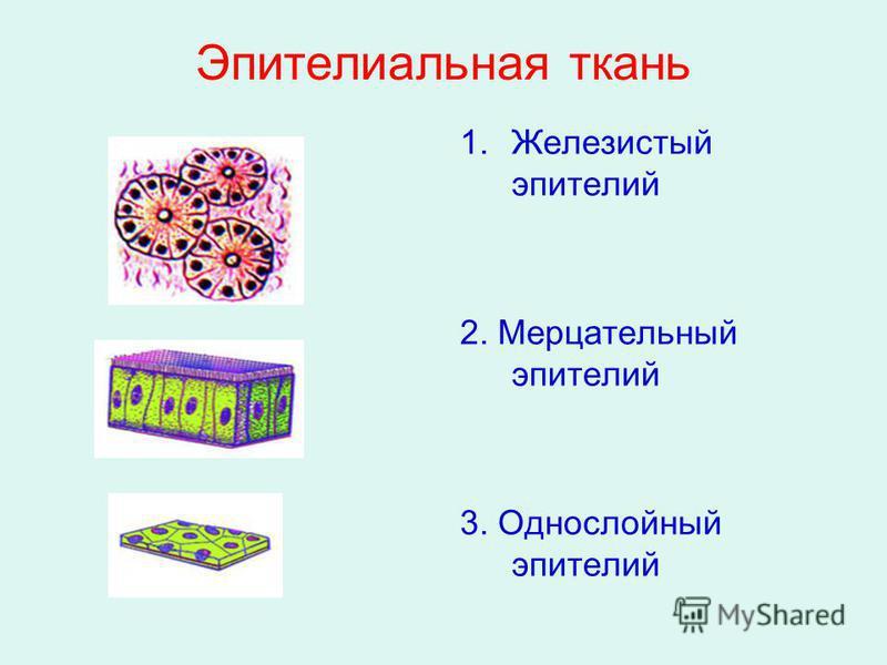 Эпителиальная ткань 1. Железистый эпителий 2. Мерцательный эпителий 3. Однослойный эпителий