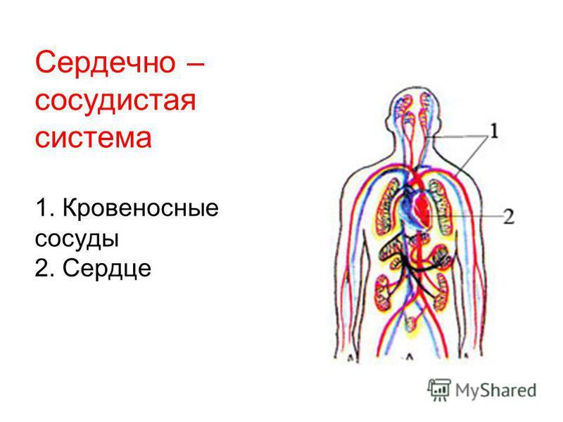 Сердечно – сосудистая система 1. Кровеносные сосуды 2. Сердце