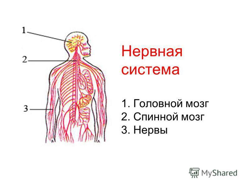Нервная система 1. Головной мозг 2. Спинной мозг 3. Нервы