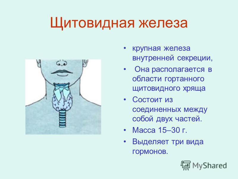 Щитовидная железа крупная железа внутренней секреции, Она располагается в области гортанного щитовидного хряща Состоит из соединенных между собой двух частей. Масса 15–30 г. Выделяет три вида гормонов.
