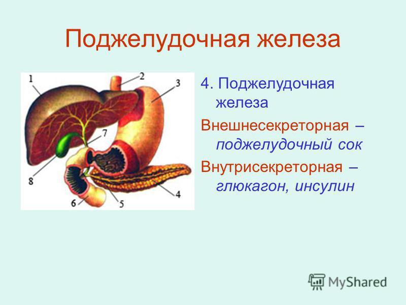 Поджелудочная железа 4. Поджелудочная железа Внешнесекреторная – поджелудочный сок Внутрисекреторная – глюкагон, инсулин