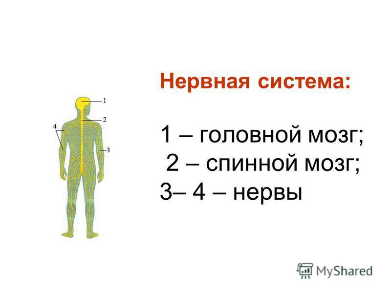 Нервная система: 1 – головной мозг; 2 – спинной мозг; 3– 4 – нервы