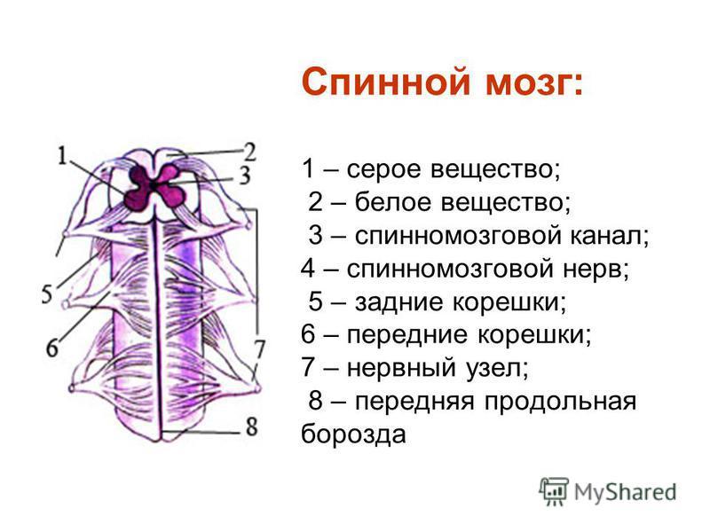 Спинной мозг: 1 – серое вещество; 2 – белое вещество; 3 – спинномозговой канал; 4 – спинномозговой нерв; 5 – задние корешки; 6 – передние корешки; 7 – нервный узел; 8 – передняя продольная борозда
