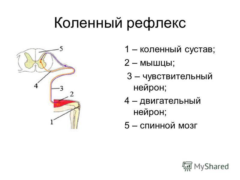 Коленный рефлекс 1 – коленный сустав; 2 – мышцы; 3 – чувствительный нейрон; 4 – двигательный нейрон; 5 – спинной мозг