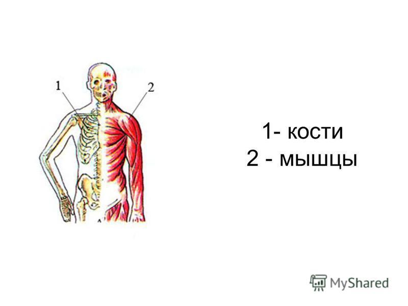 1- кости 2 - мышцы