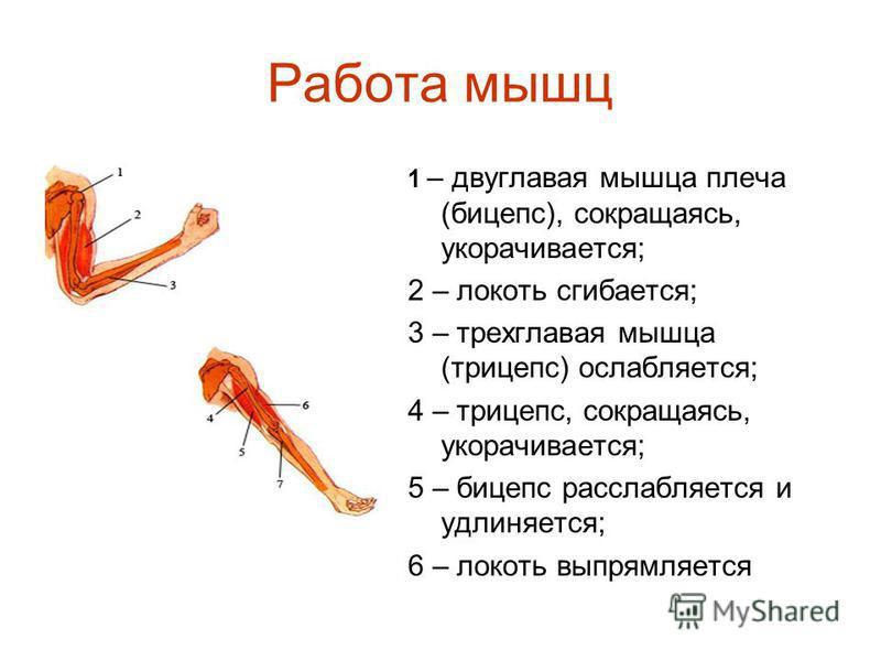Работа мышц 1 – двуглавая мышца плеча (бицепс), сокращаясь, укорачивается; 2 – локоть сгибается; 3 – трехглавая мышца (трицепс) ослабляется; 4 – трицепс, сокращаясь, укорачивается; 5 – бицепс расслабляется и удлиняется; 6 – локоть выпрямляется